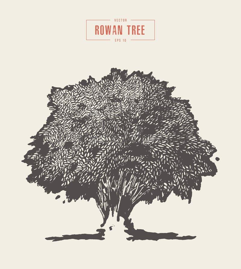High detail vintage rowan tree, hand drawn, vector vector illustration