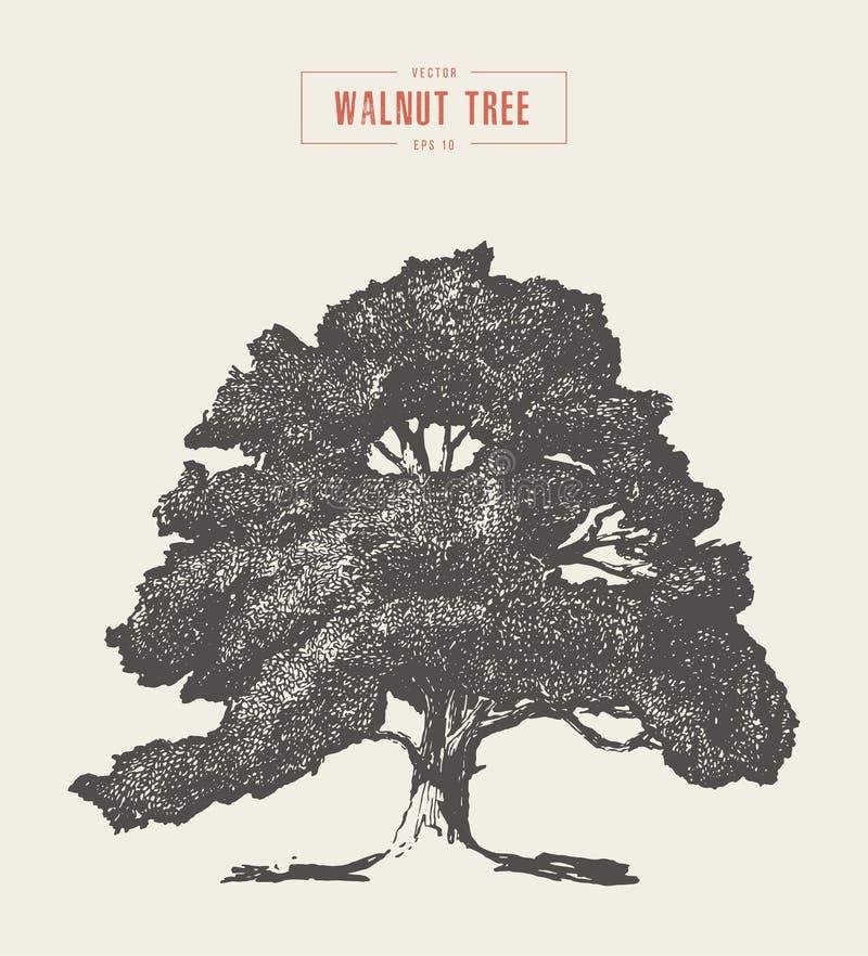 High detail vintage walnut tree hand drawn, vector vector illustration