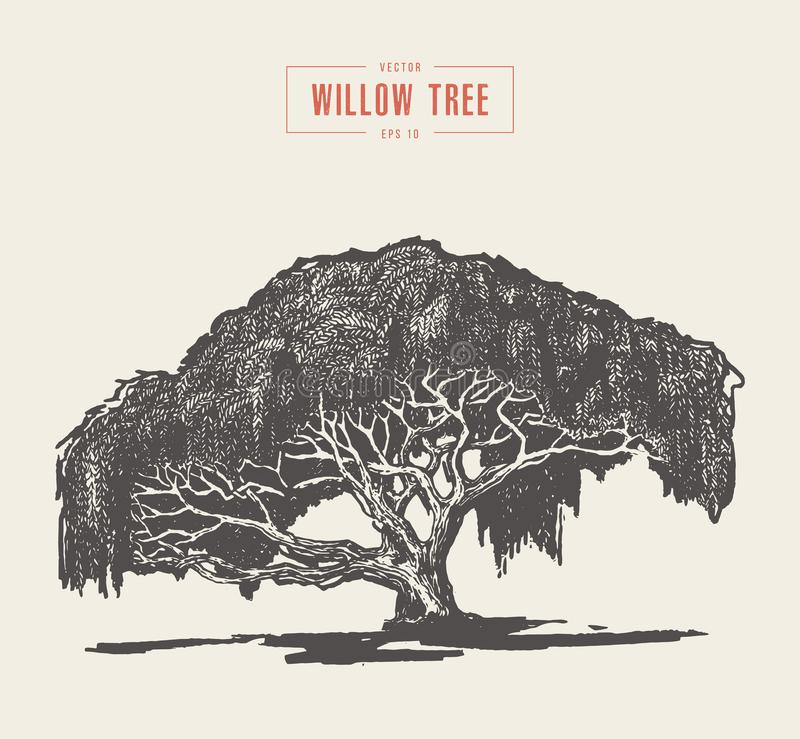High detail vintage willow tree hand drawn, vector royalty free illustration