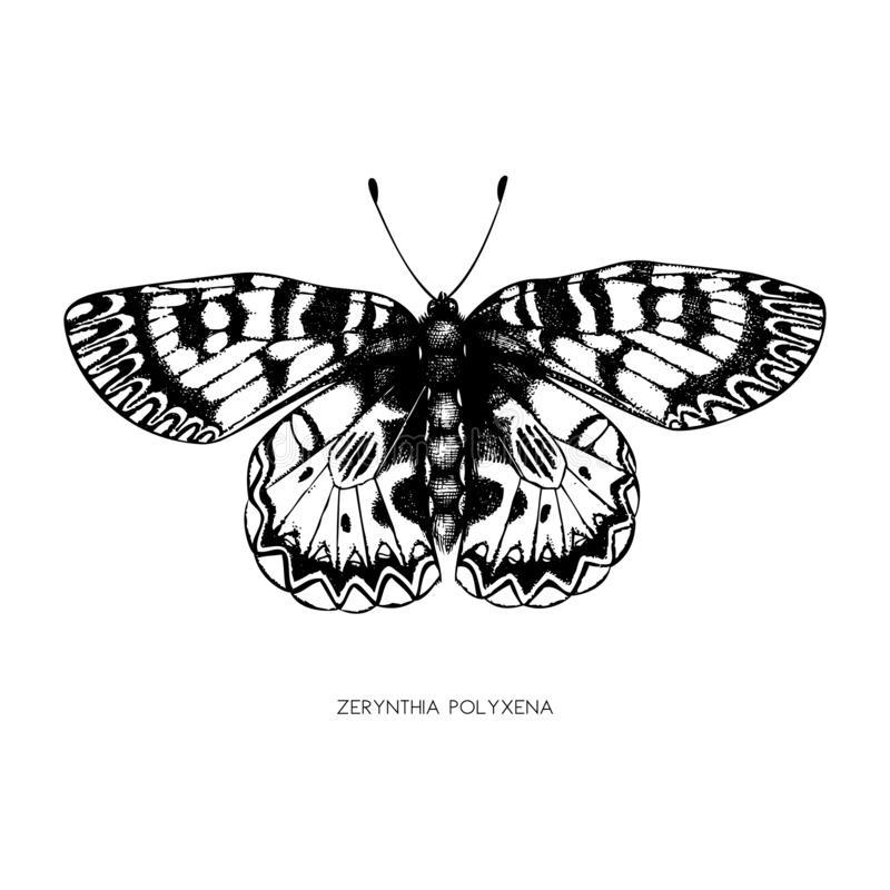 High detailed illustration of Zerynthia polyxena. Hand drawn butterfly sketch. Vintage insect drawing on white background. royalty free illustration