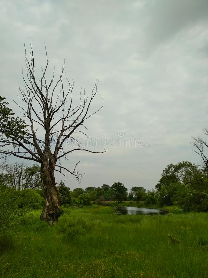 High dry bare tree is standing on the bright green lawn. Grey summer day near the river. Vertical photo.  royalty free stock photos
