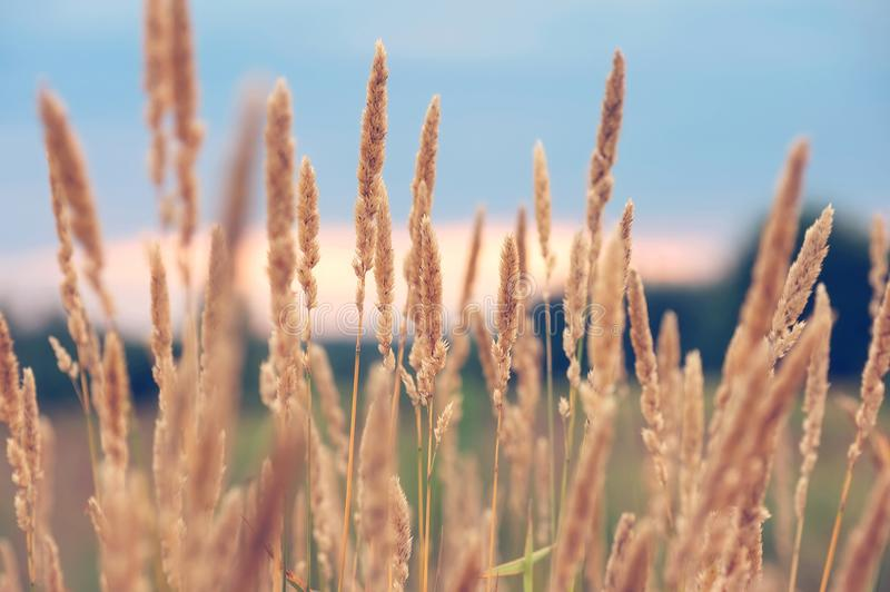 High dry grass. In field on sunset background royalty free stock photos