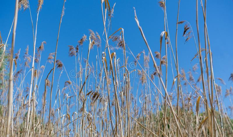 High dry grass on a hot summer day against the blue sky stock photos