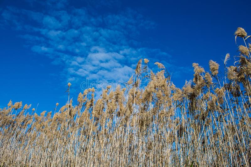 Phragmites high dry marsh grass in wetlands swamp royalty free stock photo