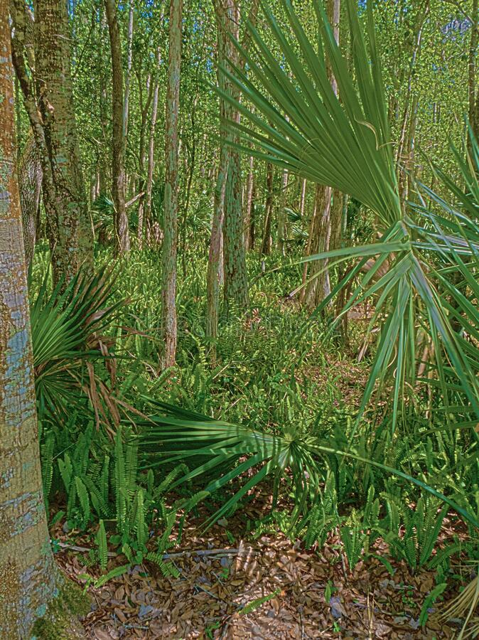 HDR Florida forest 3 royalty free stock image