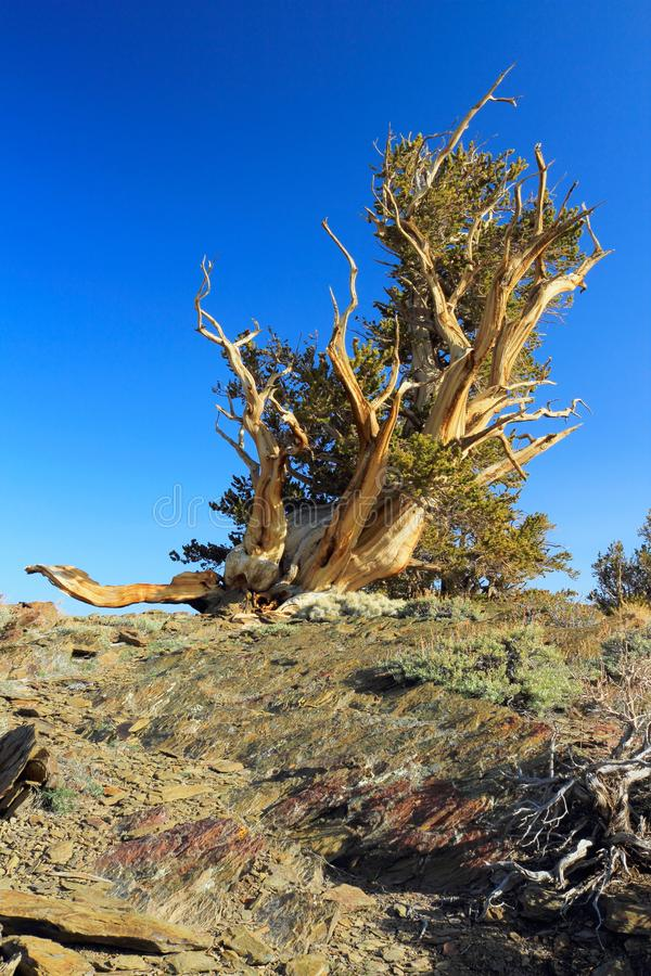 Gnarly Bristlecone Pine in the White Mountains, Inyo County, California, USA. The high elevations of the White Mountains in Inyo County in Eastern California stock photos
