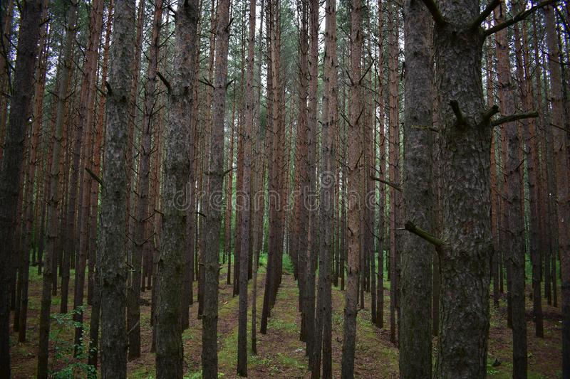 For high the evergreen alleys when planting conifers surprisingly good pine. Of conifers strict, but diverse shape crown royalty free stock images