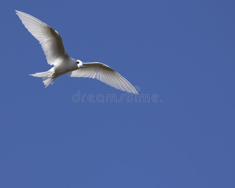 High Flier. A white Fairy Tern (Gygis alba) soaring through a clear blue sky en route from Siberia to Hawai'i stock image