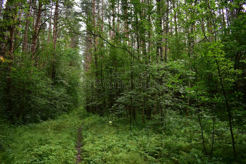 High forest a set of trees over the direct path, receding into the distance, a green fluffy carpet of grass. Is spread stock photography