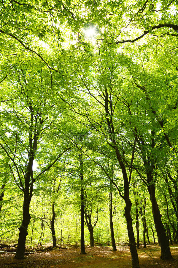 High Forrest trees in the woods with sunlight. High green Forrest trees in the woods with sunlight royalty free stock image