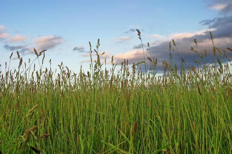 In high grass. High grass over sky background royalty free stock photo