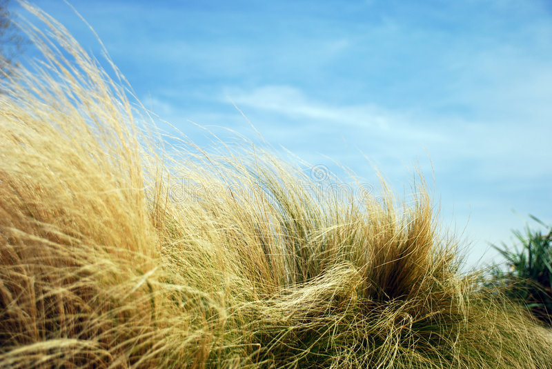 High Grass. On a field with blue sky royalty free stock photo