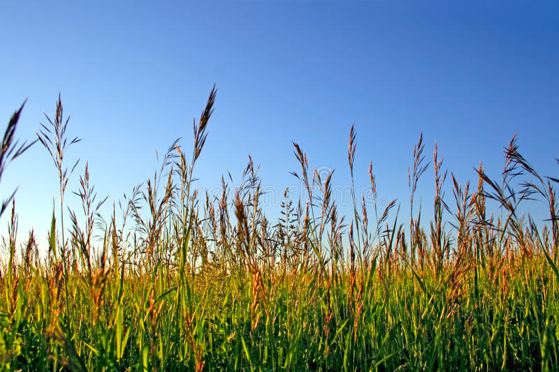 High grass. In the sunset light royalty free stock image