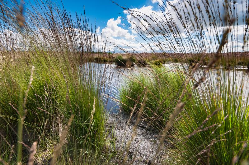 Blooming heather along a lake in The Netherlands on a sunny day. High grass along a water pool with wildlife tracks in the mud. Reflection in the water with royalty free stock photos