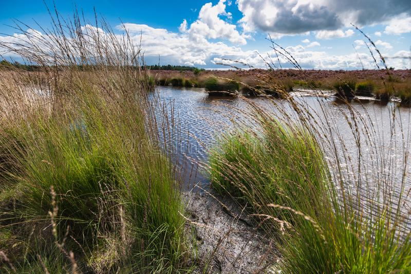 Blooming heather along a lake in The Netherlands on a sunny day. High grass along a water pool with wildlife tracks in the mud. Reflection in the water with royalty free stock images