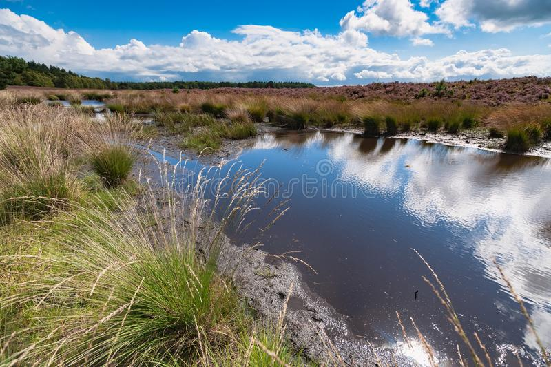 Blooming heather along a lake in The Netherlands on a sunny day. High grass along a water pool with wildlife tracks in the mud. Reflection in the water with stock photography