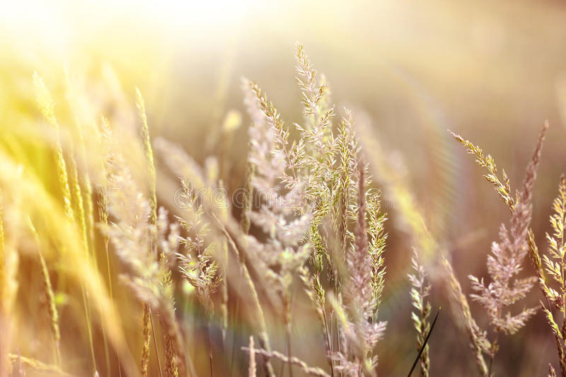 High grass bathed in sunlight. Sunrise in field of beautiful high grass royalty free stock image