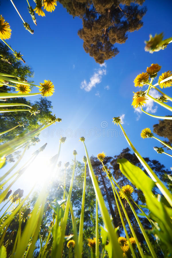 High grass and blue sky. View from the ground stock photography