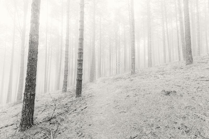 High key black and white photo of pine trees. Magoebaskloof South Africa royalty free stock photography
