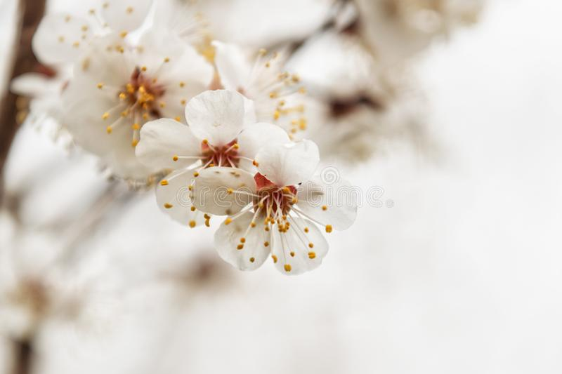 High key cherry flowers. White cherry flowers blooming on the tree in high key stock images