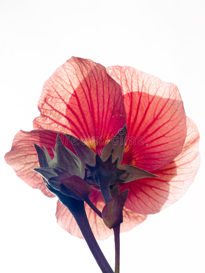 Free High Key Flower Royalty Free Stock Photo - 4051305