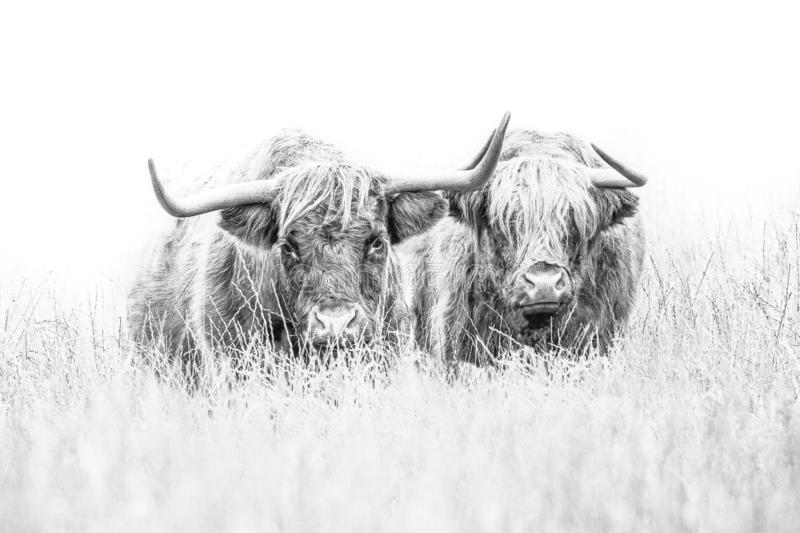 Highland Cow on white. A high key pair of Highland Cows on white, sketch effect with copyspace royalty free stock photo