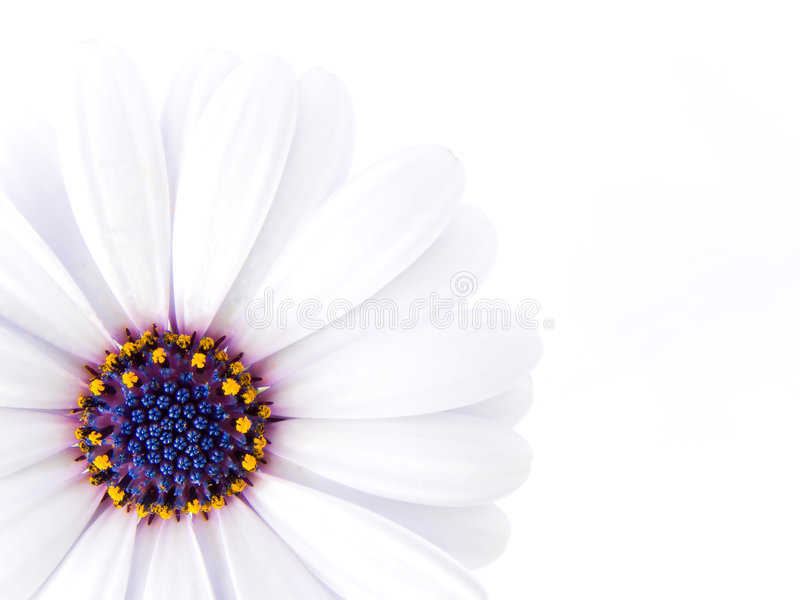High Key photo of a flower. High Key photo of a marigold royalty free stock photography
