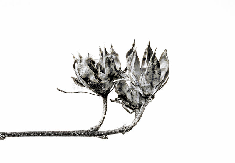 High key thistle. High key abstract thistle black and white isolater stock image