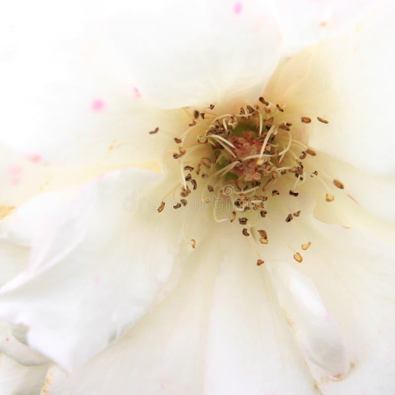 High Key White Rose detail. Shot stock photos