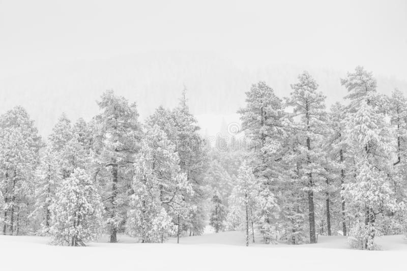 High-key winter landscape with fir trees. In the foothills of Switzerland royalty free stock photo