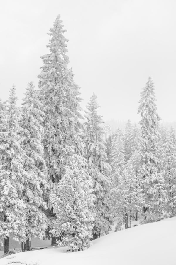 High-key winter landscape with fir trees. In the foothills of Switzerland stock photos