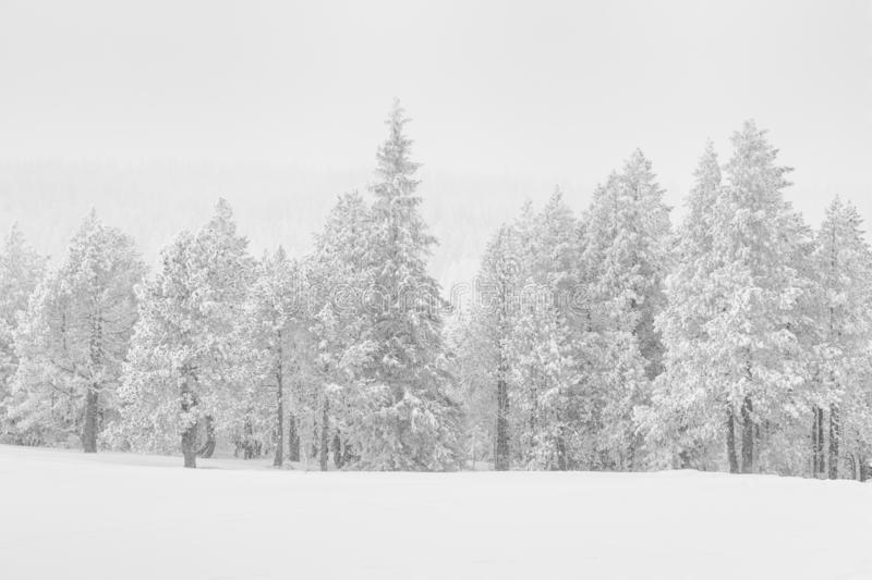 High-key winter landscape with fir trees. In the foothills of Switzerland royalty free stock photos