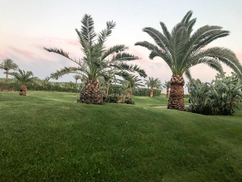 High low tropical southern desert palms with large green leaves and strong strong trunks on a green lawn, grass in the hills again stock image