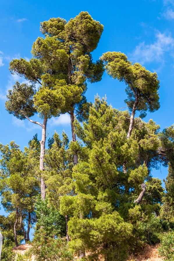 High Mediterranean Pine trees forest. Scenery stock image