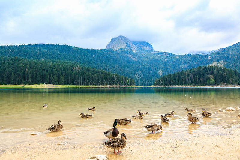 High Mountain and Black Lake at cloudy daytime, Durmitor National Park, Zabljak, Montenegro. Beautiful landscape with wild ducks. royalty free stock photo