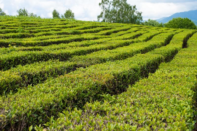High-altitude tea plantation on a summer day royalty free stock image