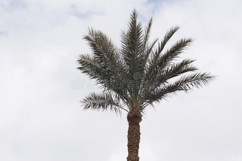 A high palm tree from the Egyptian countryside royalty free stock photo