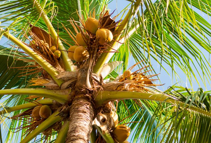 High palm tree with fruits of coconut nuts on a background of blue bright sky. High palm tree with fruits of coconut nuts on a background of blue sky royalty free stock photo