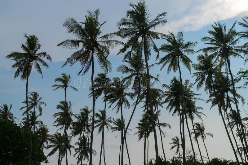 High palm trees against the blue sky stock image