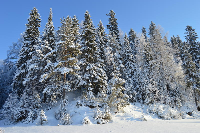 High pine forest on the banks of the river stock photography