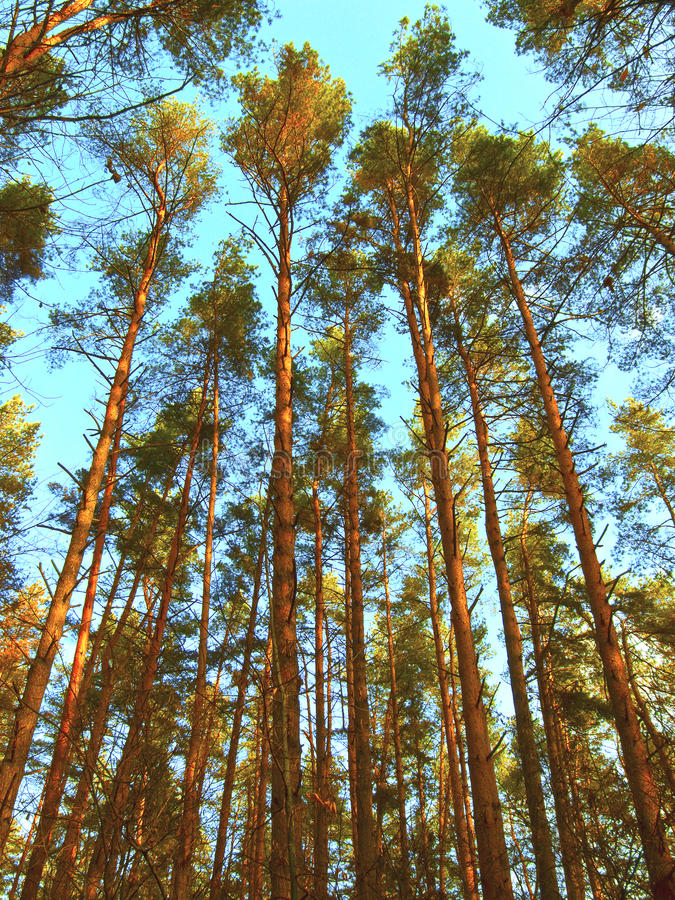 Download High Pine-trees Are In The Forest Stock Image - Image: 11967225