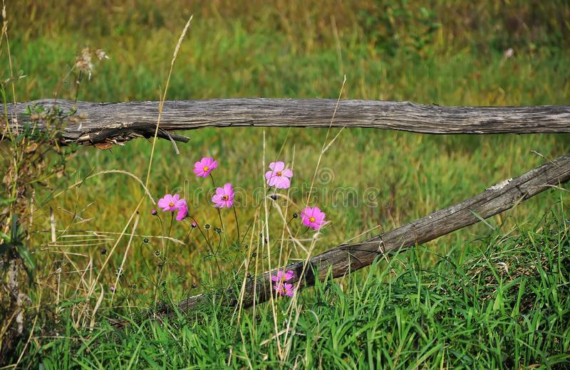 High pink flowers grow near the old wooden the fence amid high grass. Summer royalty free stock photography