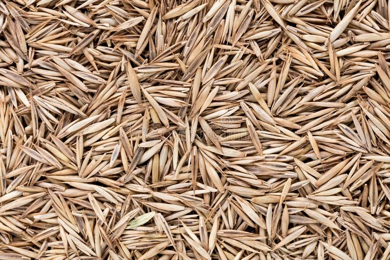 High quality seeds of lawn grass, in a texture form for your green garden. Can be used by seed producers. High quality seeds of lawn grass, in a texture form stock photography