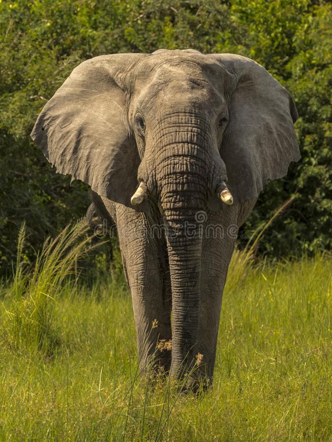 African elephant walks towards the camera stock photo