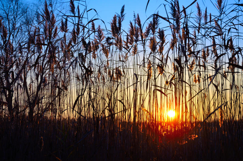 High reed against the backdrop of a colorful sunset. Through the thicket of tall reeds visible colorful sunset. Against the background of beautiful sunset and royalty free stock photo