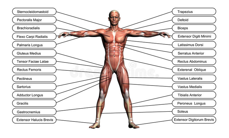 Download High Resolution Concept Or Conceptual 3D Human Anatomy Stock Illustration - Image: 31384175