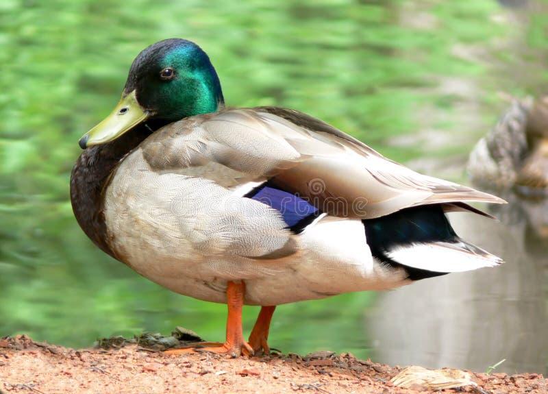 High Resolution Mallard Duck. Large resolution close-up of a male mallard duck stock images