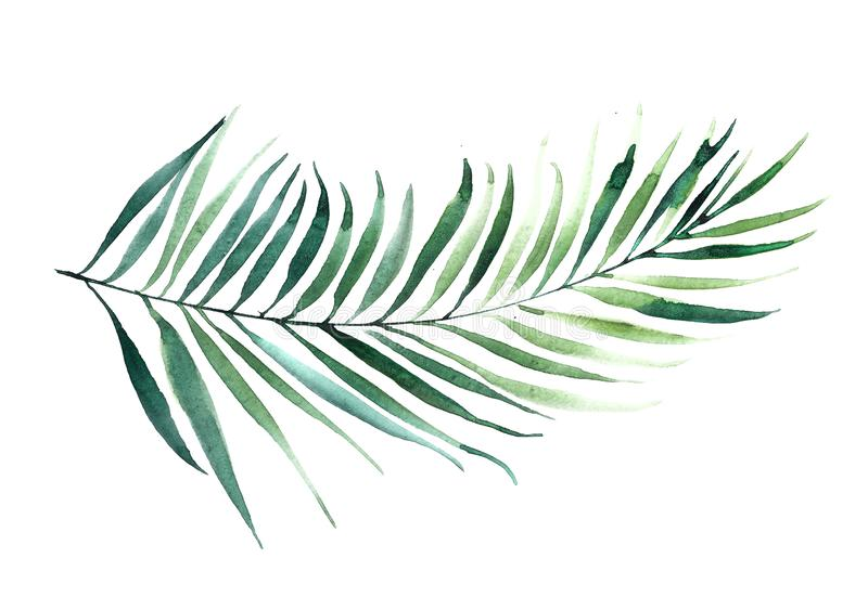 High Resolution Palm Tree Leaf Isolated On White Background Tropical Illustration Watercolor Stock Illustration Illustration Of Fresh Nature 160421391 Tropical evergreen forest redirects here. high resolution palm tree leaf isolated