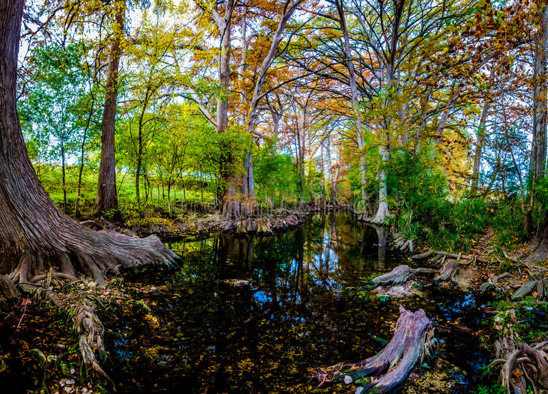 High Resolution Panaramic View of Morning Sunlight on Fall Foliage of Giant Cypress Trees on the Cibolo Creek, Texas. royalty free stock image