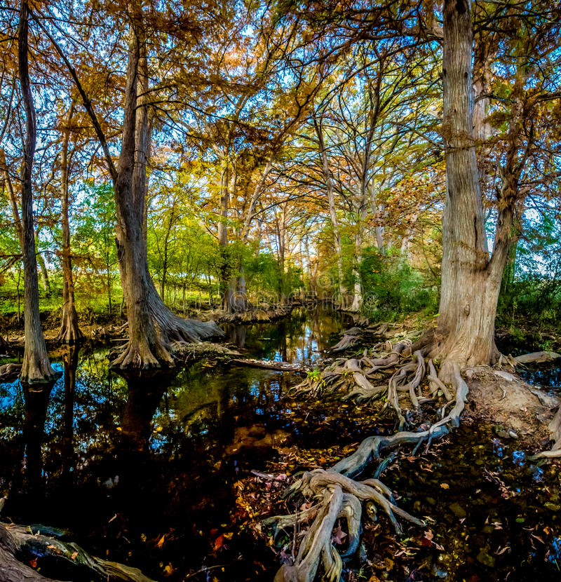 High Resolution Panoramic View of Fall Foliage on Cibolo Creek, Texas. High Resolution Panoramic View of Morning Sunlight on Fall Foliage on Cypress Trees at royalty free stock photos